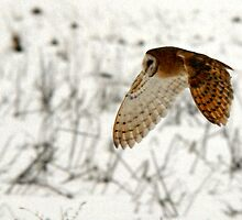 Barn Owl on the Prowl by Ryan Houston