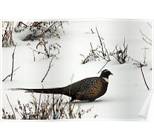 Winter Ring-Necked Pheasant Poster