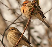 House Finch Pair by Ryan Houston