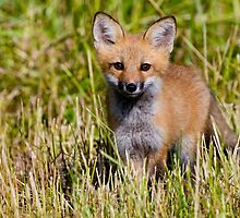 Red Fox Kit by Fox-Images