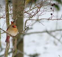 Cardinal with snow by Janice Carter