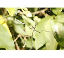 St Andrews Cross Spider Photographic Print