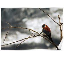American Kestrel - Winter Perch Poster