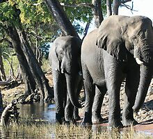 Elephant on Chobe River, Botswana Africa by summer