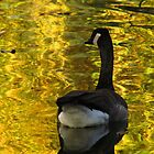 Canada Goose on Colorado pond by dfrahm