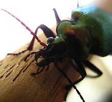 Christmas beetle by Ross James