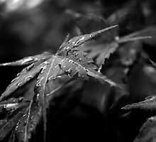 Japanese Maple Leaves after rain by Catherine Davis