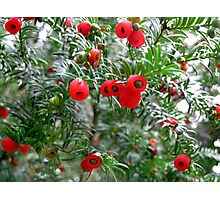 Yew Tree Photographic Print