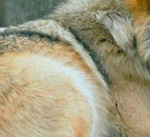 BAAO Wolf Sticker