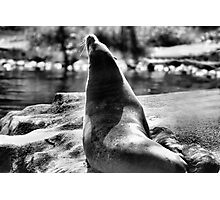 Seal Mother and Pup - Lovely Black and White Print - BW B&W Photographic Print