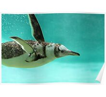 "The Penguin - Fantastic underwater photo of a penguin in ""flight"" Poster"