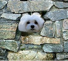 Snowdrop the Maltese - Peek-a-Boo - I Can See You ! by Morag Bates