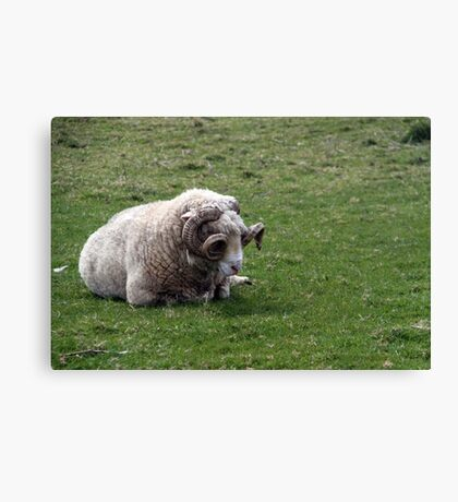 Irish Ram Canvas Print