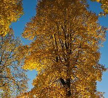 Maple Magnificent   by Rod Raglin