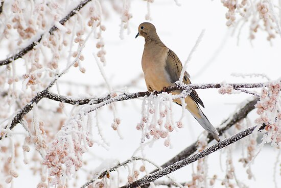 Dove by bluerabbit