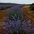 photoj Tas, Lavender Farm by photoj