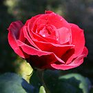 Roses are Red by Helen  Page