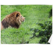 The Lying Lion - Lovely Lion Photo Print / Nature / Wildlife Print Poster
