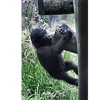 Hanging On - Gorilla Infant at play photo / print / animal /wildlife Photographic Print