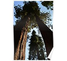 Giant Sequoia  trees in south California forest. Poster
