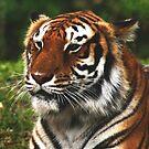 Tigress by Rock Mollica