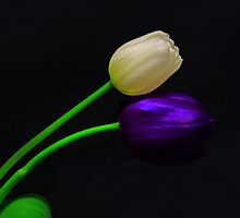White and Violet Tulip by jerry  alcantara