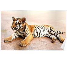 Tiger Cub Lying Down, Thailand  Poster
