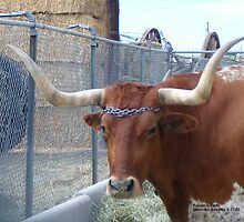 Longhorn cattle by Sheryl Solano