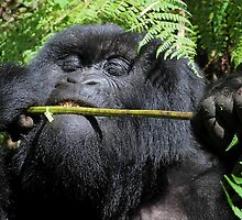 Silverback Gorilla Eating,  Hirwa Group,  Rwanda,  East Africa  by Carole-Anne