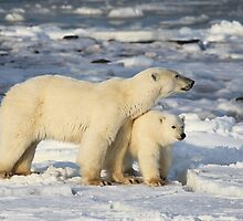 Standing Guard Over Her Cub, Churchill, Canada  by Carole-Anne