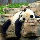 Resting Panda by Shante' Mathes