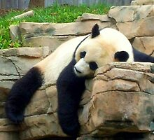 Resting Panda by Shante' Mathes