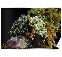 Vietnamese Mossy Tree Frogs (Theloderma corticale) Poster