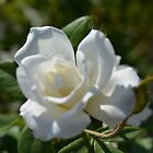 pretty white rose flower picture. by naturematters