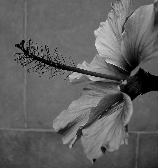 Pink Hibiscus B&W by PPPhotoArt