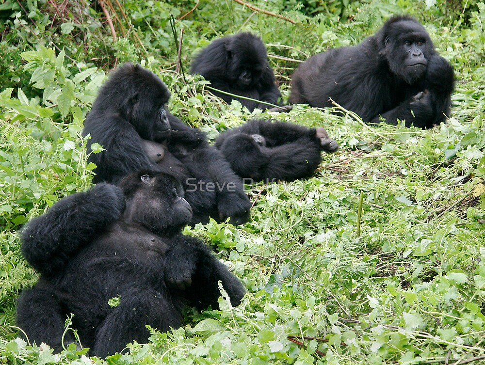 Mountain Gorillas by Steve Bulford