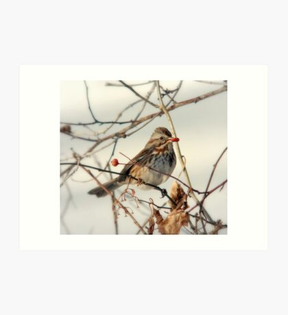 Hungry Song Sparrow Art Print