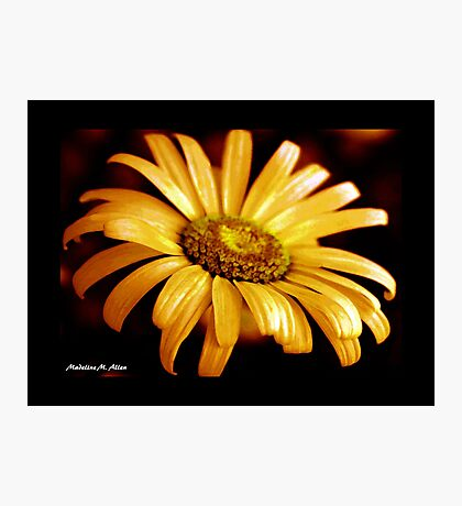 PAINTED DAISY Photographic Print