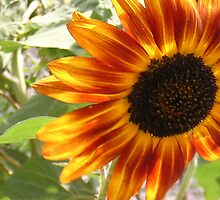 A blustery day for the sunflowers by Julieanne