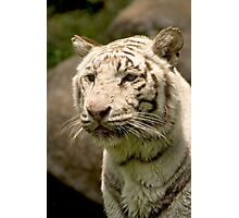 White Tiger Photographic Print