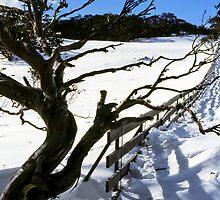 Snow Gum by rachn