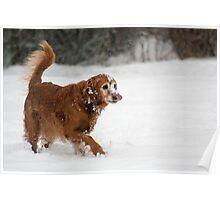 Golden Retriever in the snow Poster