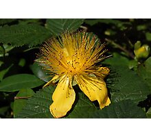 yellow Hypericum flower Photographic Print