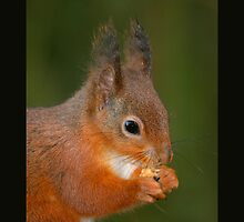 Portrait of a red squirrel by lepreskil
