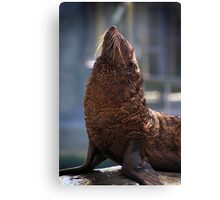 Furry Seal Canvas Print