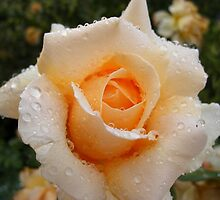 Rain on Rose by eramophla