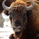 Bison by Bobby McLeod