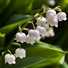 Lily of the valley by tamilian