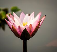 Lotus flower (water lily) by Brent Olson