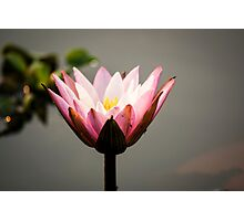 Lotus flower (water lily) Photographic Print